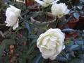 12月のバラ その2