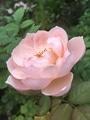 夏に咲くフクジュソウ