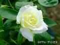 今日の薔薇で~す[i:207]