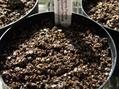 球根ベゴニアの発芽