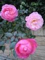 これからつるバラ