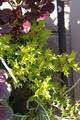 銅葉の金魚草