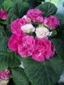 プリムラバラ咲き