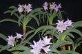 幻の花 ブルーアマリリス