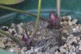 クリスマスローズの原種(H.シクロフィルス)