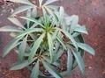 チベタヌスの葉など