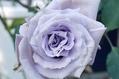 今年最後の青バラ