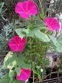 ふむ、スカーレットちゃんのお花は美味しいらしい。