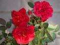 名無しのバラたち