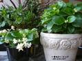 挿し芽した花とクリスマスローズ