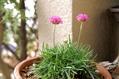 オギザリスの花は