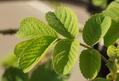 ヨーク・アンド・ランカスターの葉