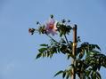 皇帝ダリアが咲きました。