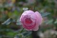 今日の秋バラ 1115 ②