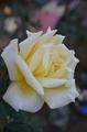 半世紀前のバラ