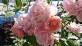 初冬に咲いた秋バラ
