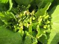 アブラナの仲間にも、花芽が