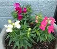 植えた花苗たち