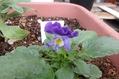 種蒔きビオラちゃん一応咲いたけど・・・。