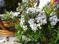 雪の様な花ヘ-ベ
