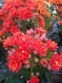 カランコエ・八重咲き