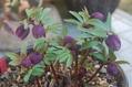1月の庭から…その3(展示株)