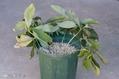 クリスマスローズの栽培(冬の水やり)