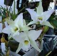 「Laelia」 「Angcm」 白色の花が咲き始めました。