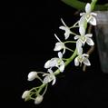 Sediera japonica x Amesiella philippinensis