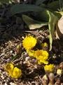 陽だまりの福寿草