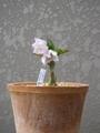 水月花(チベタヌス)