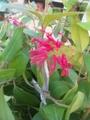 オーストラリアから来た植物・2