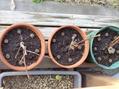 サツマイモ水栽培その後