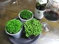 洋酒と洋種イワヒバ