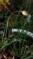南アフリカ原産のテコフィレア科の花