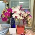 胡蝶蘭、今年は早めに切り花に。