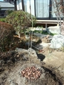 アオダモ植樹
