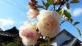 冬の間も咲続ける白ツルバラ