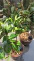 先日買った苗木を植付けしました