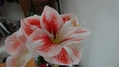 咲きました~アマリリス