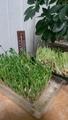 豆苗野菜づくり