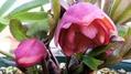 一昨年に買ったクリローの苗 初開花