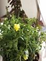 またまたすみれの花
