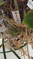 平成30年2月23日 ⑬奄美宝扇