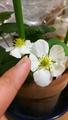 四季なりいちごの室内栽培🍓