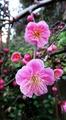 しだれ梅と日本水仙