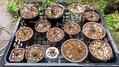 昼からはミニバラを植え替えました