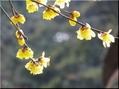 福寿草、一輪開花