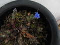 ハルリンドウ開花