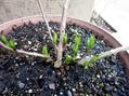 3月9日 挿し木苗、植え替えなど